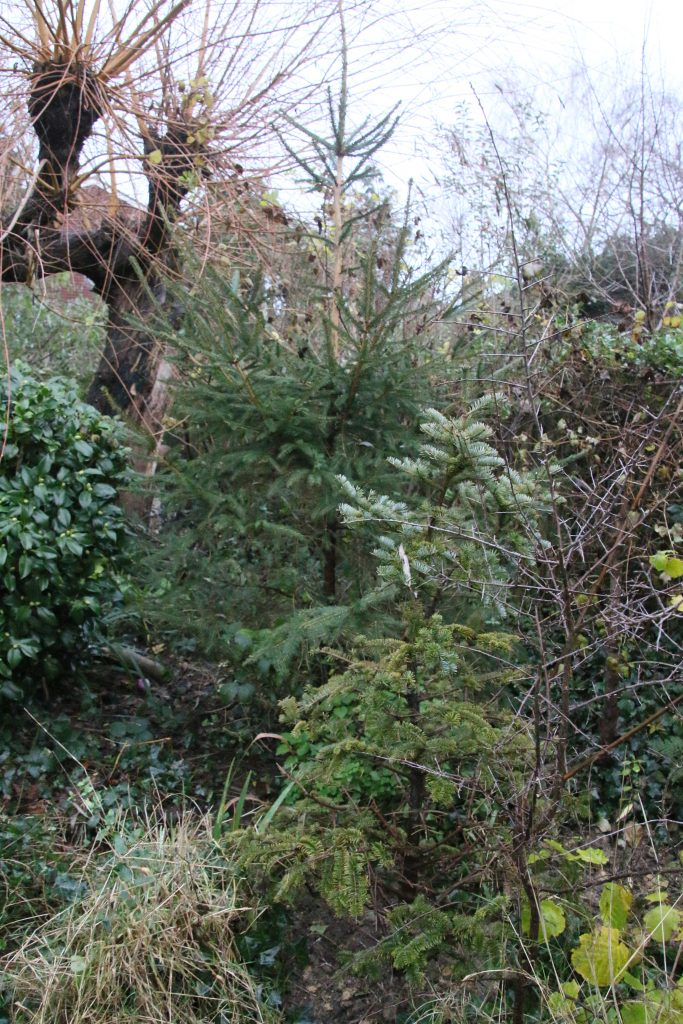 Two Christmas trees planted in the garden, a large one in the background smaller in the foreground.