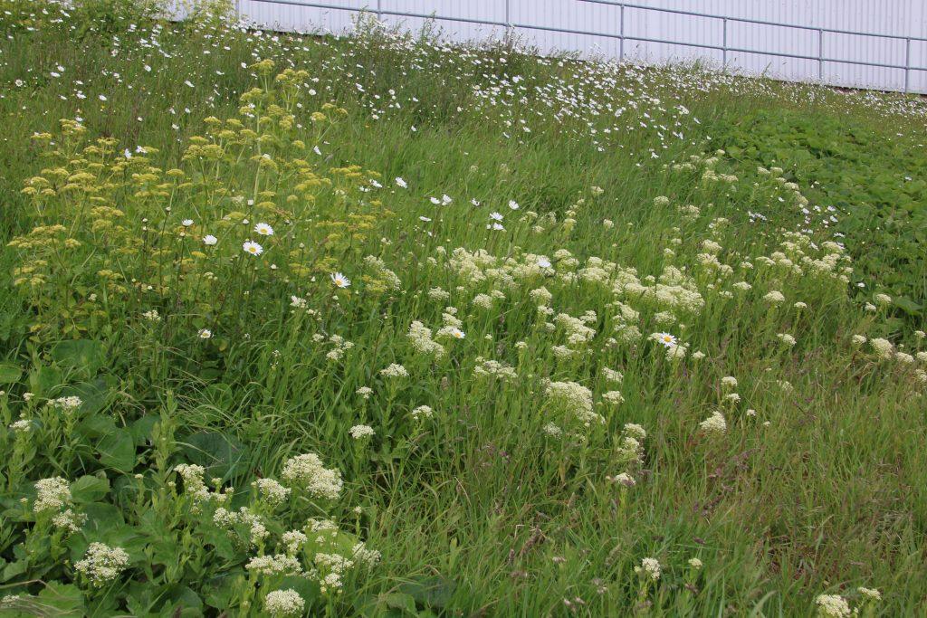 Wiildflowers in sloping urban meadow